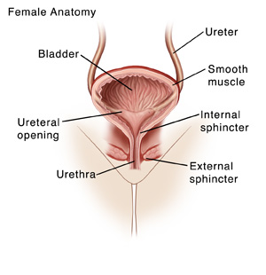 Front view cross section of female urinary tract showing bladder, urethra, ureters, and sphincter muscles.