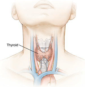 Front view of neck showing thyroid gland.