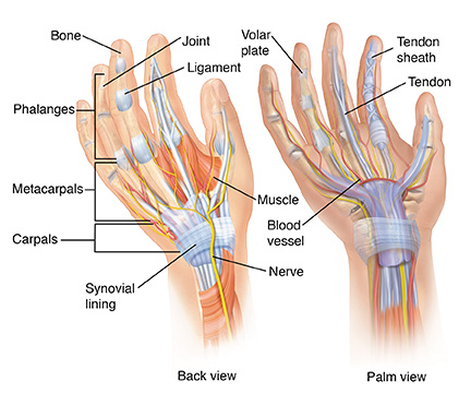 Front and back view of hand showing anatomy.