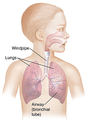 Child's head and torso showing upper and lower respiratory tracts.