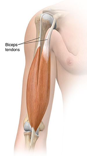 Front view of upper arm showing biceps muscle.