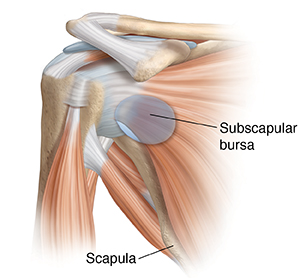 Front view of shoulder joint with muscles showing subscapular bursa.