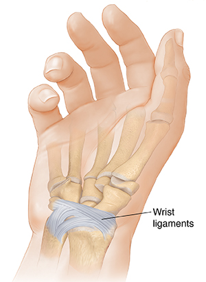 Palm view of hand showing palmar radiocarpal ligament and palmar ulnocarpal ligament.