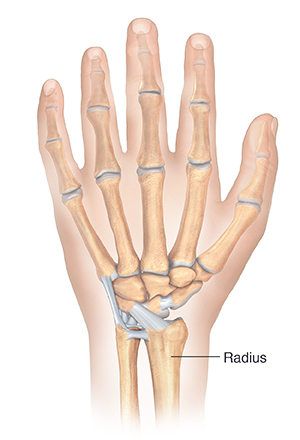 Back view of hand showing bones and ligaments.