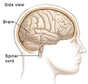 Side view of man's head showing normal brain.