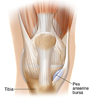 Front view of knee joint showing pes anserine bursa.