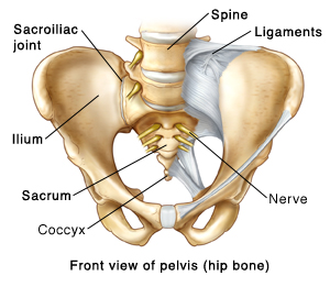 Front view of the pelvis (hip bone) showing the sacroiliac joint showing the spine, ligaments, ilium, sacrum, coccyx, and nerve.