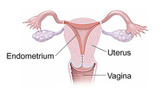 Front view cross section of uterus and vagina showing endometrium lining inside of uterus.