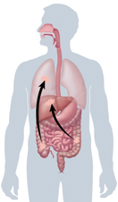 Outline of body showing digestive and respiratory tracts, with arrows showing spread of cancer.
