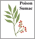 Leaves and berries of poison sumac.